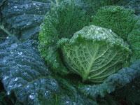 Savoy cabbage 'Melissa'