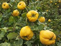 An old fruit most people have never tried: Quince