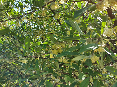 Autumn Olive in bloom