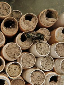 Blue Orchard or Mason bee