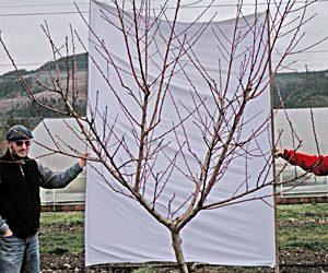 Pruning Stone Fruits