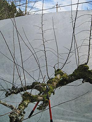 Renovating an Older Apple Tree