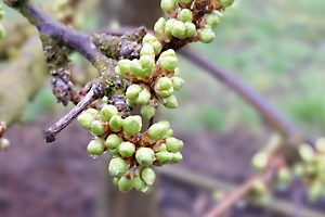 Japanese plum buds, at stage 3