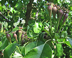 Unthinned Pear Cluster