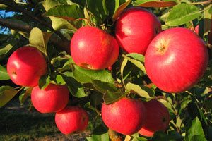 Akane apples