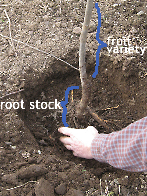 Rootstock, defined