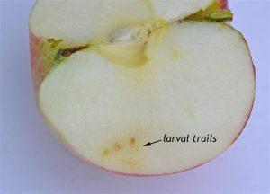 Larval-trails