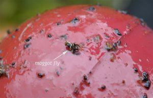 Apple maggot on sticky trap