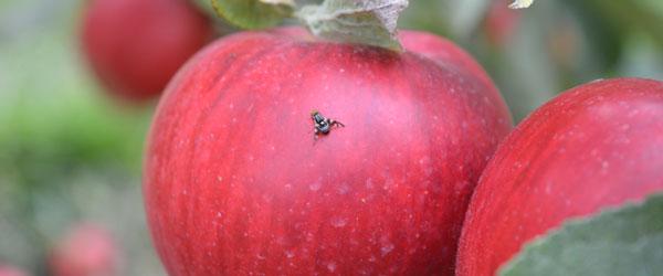 Apple Maggot Update