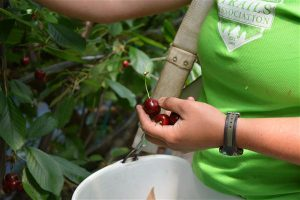 Advanced Stone Fruit Growing, Two Part Hands-On Course