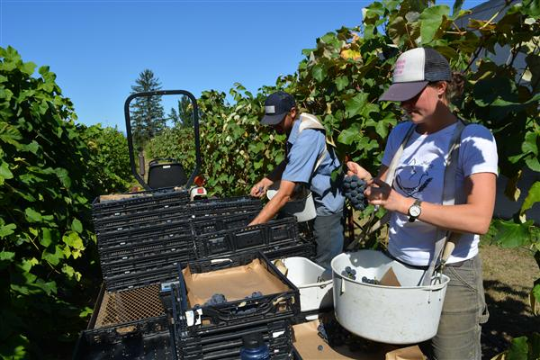 Growing Table Grapes