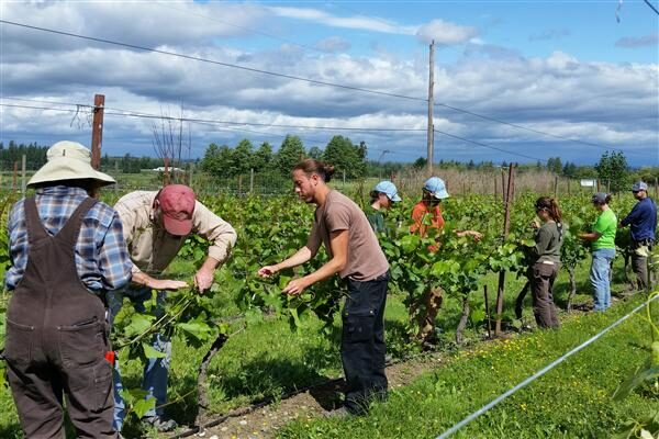 Summer Care in the Vineyard