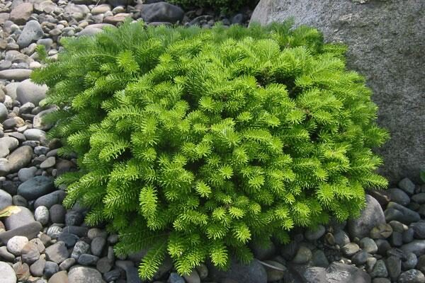 Green Carpet Korean Fir
