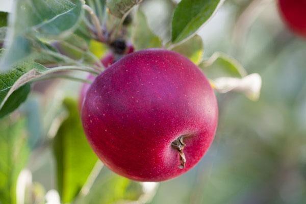 All Apple Trees
