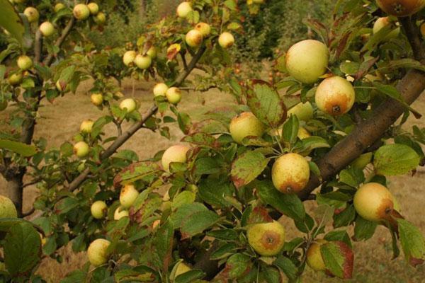 Cider Apple Trees