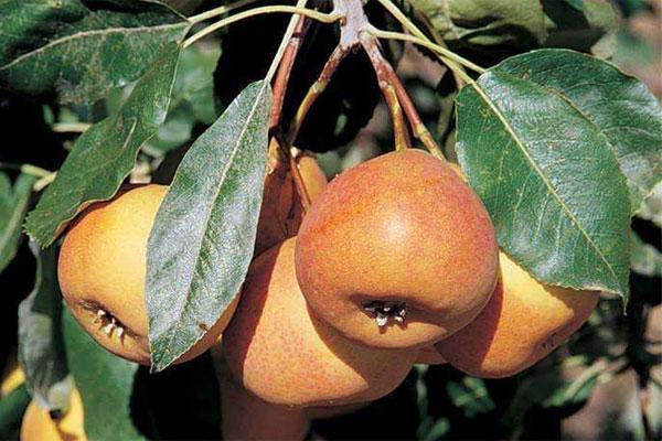 Hybrid Pear Trees