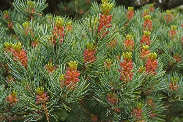 Intermediate and Semi-Dwarf Conifers