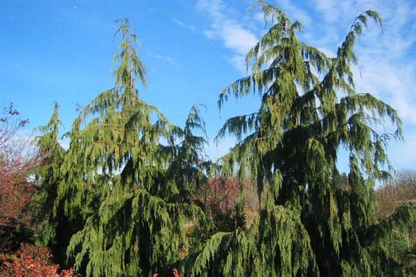 Large Growing Conifers