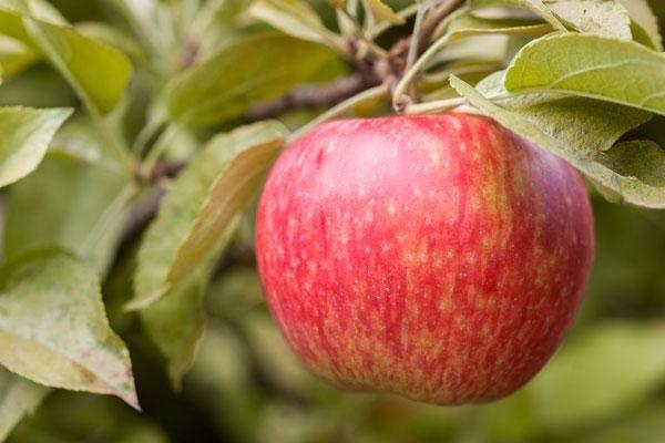 Orchard Favorites