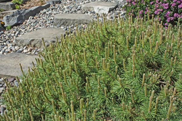 Valley Cushion Dwarf Pine