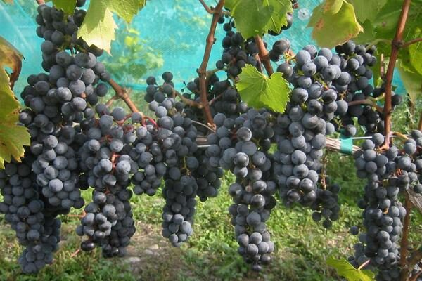 Red Wine Grapevines