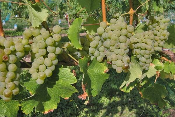 White Wine Grapevines
