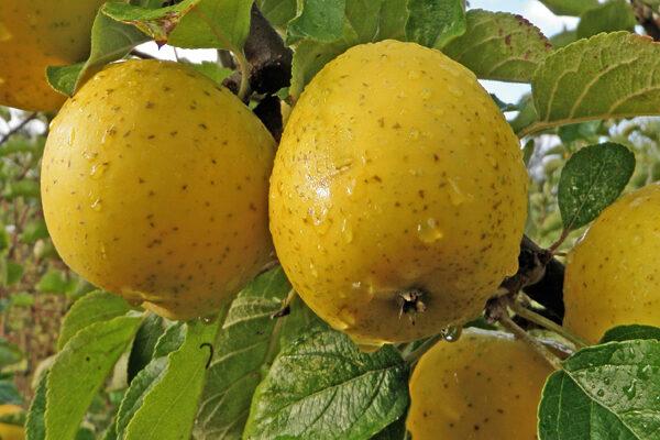 Ananas Reinette Apple