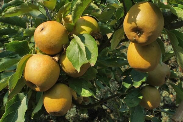 Ashmead's Kernal Apple