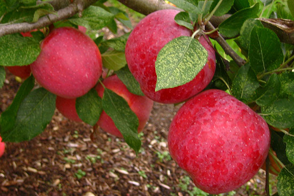 Florina Apple Tree