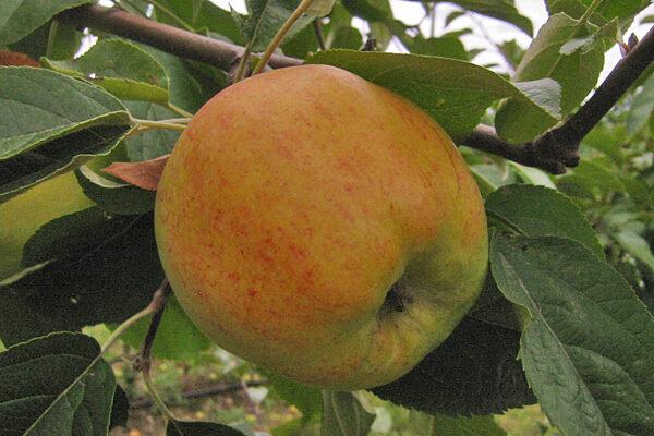 Sheets Gravenstein Apple Tree
