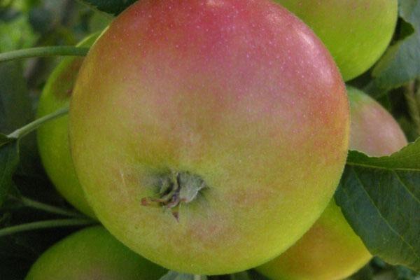 Golden Sentinel Apple Tree