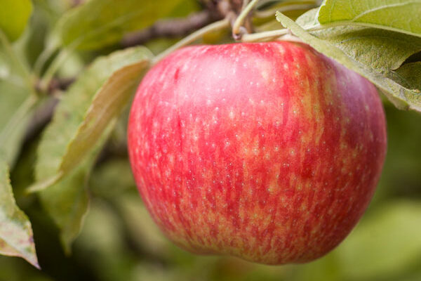 Honeycrisp Apple Tree