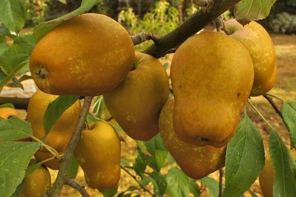 Hudson's Golden Gem Apple