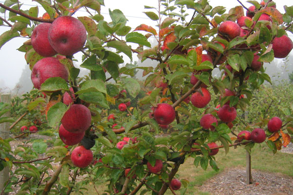 Kingston Black Apple Tree