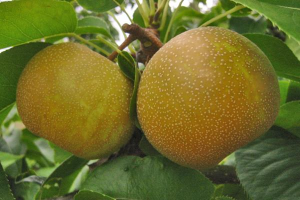 Kosui Asian Pear