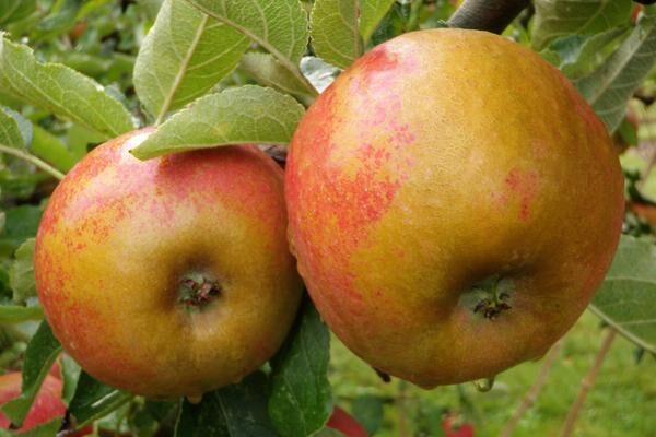 Karmijn de Sonneville Apple