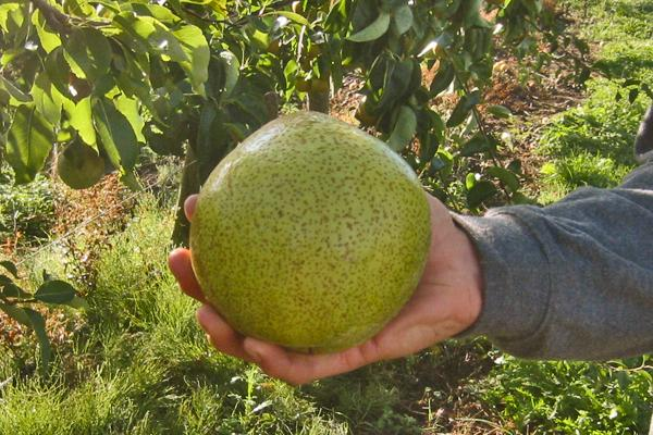 Picture of asian pear
