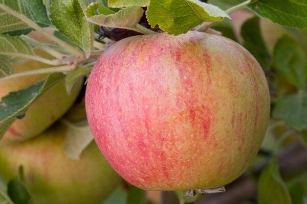 Red Alkmene Apple Tree