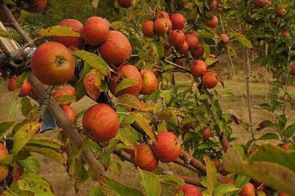 Reines des Pommes Cider Apple