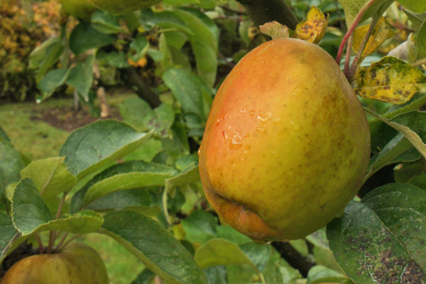 Roxbury Russet Apple Tree