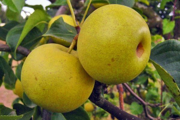 Shinseiki Asian Pear