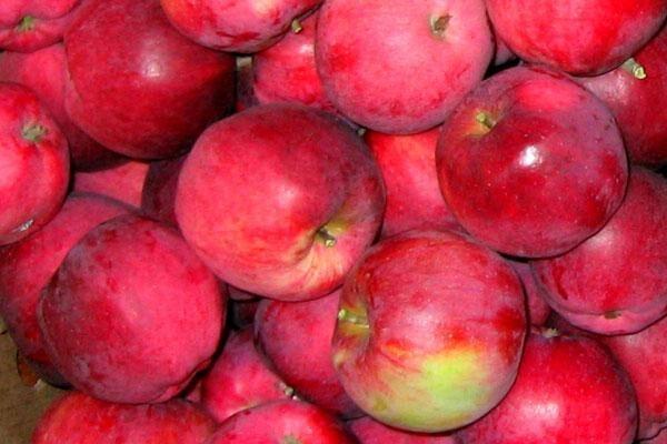 William's Pride Apple Tree