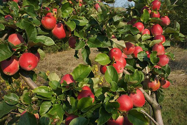 Yarlington Mill Apple Tree