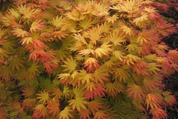 Autumn Moon Japanese Maple