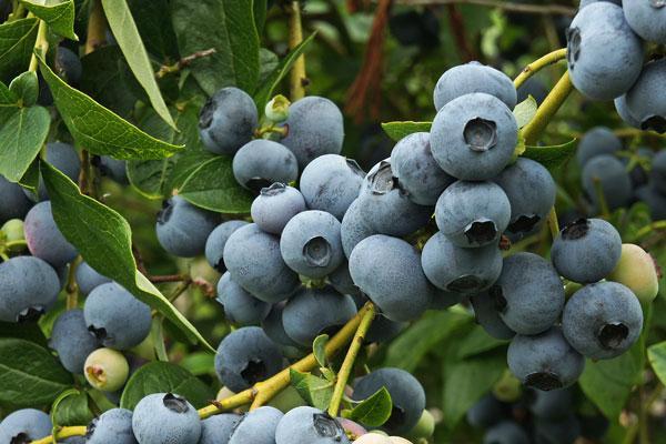 Fruit Fly Maggots in Berries