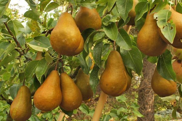 Buerre Bosc Euro Pear