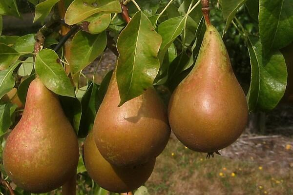 Conference European Pear