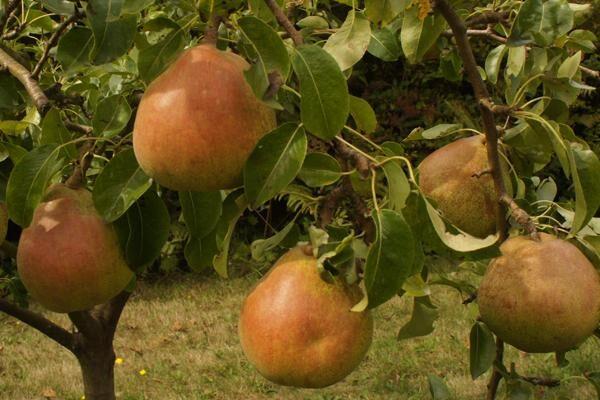 Comice European Pear
