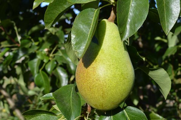 Rescue European Pear
