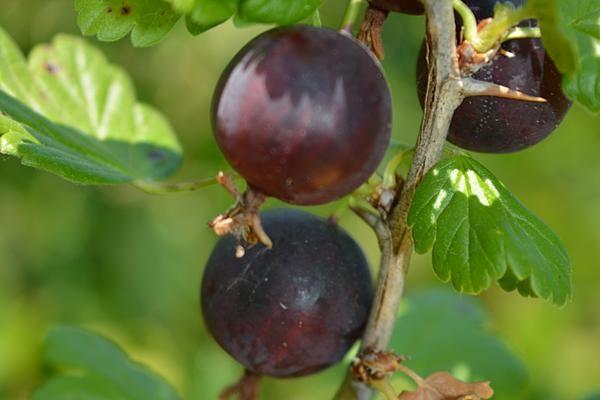 Black Velvet Gooseberry